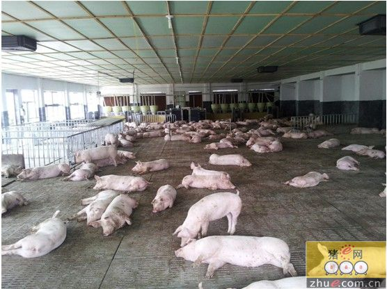100头育肥猪设计图片展示
