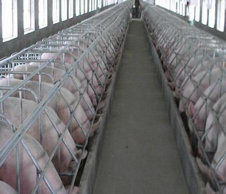 新大猪场妊娠母猪舍